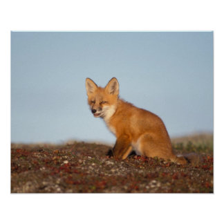 red fox, Vulpes vulpes, in fall colors along the 2 Poster