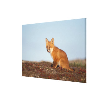 red fox, Vulpes vulpes, in fall colors along the 2 Stretched Canvas Print
