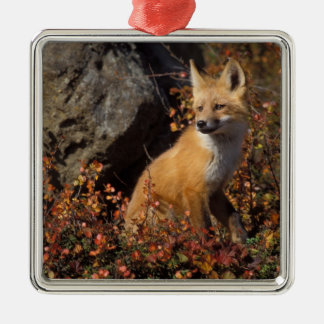 red fox, Vulpes vulpes, in fall colors along the 4 Silver-Colored Square Decoration