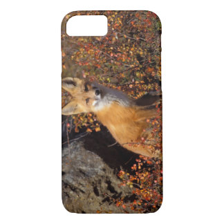 red fox, Vulpes vulpes, in fall colors along the iPhone 8/7 Case