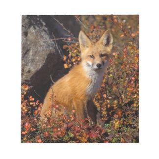 red fox, Vulpes vulpes, in fall colors along the Notepad