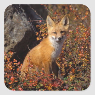 red fox, Vulpes vulpes, in fall colors along the Square Sticker