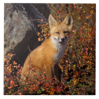 red fox, Vulpes vulpes, in fall colors along the Tile