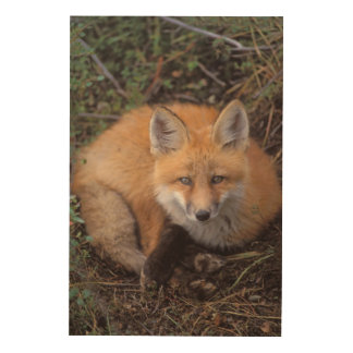 red fox, Vulpes vulpes, in fall colors along Wood Print