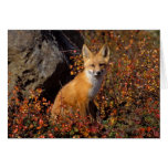 red fox, Vulpes vulpes, in fall colours along the Greeting Card