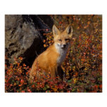 red fox, Vulpes vulpes, in fall colours along the Poster