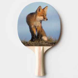 red fox, Vulpes vulpes, in the 1002 area of