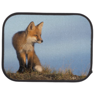 red fox, Vulpes vulpes, in the 1002 area of Car Mat