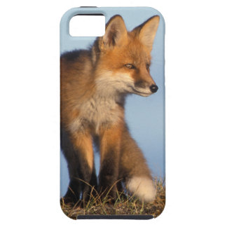 red fox, Vulpes vulpes, in the 1002 area of Case For The iPhone 5