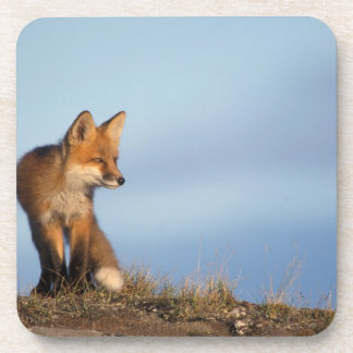 red fox, Vulpes vulpes, in the 1002 area of Coaster