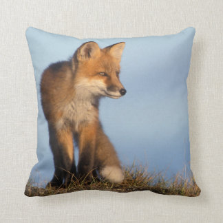 red fox, Vulpes vulpes, in the 1002 area of Cushion