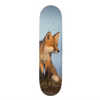 red fox, Vulpes vulpes, in the 1002 area of Custom Skateboard