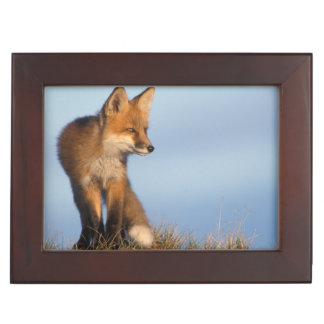 red fox, Vulpes vulpes, in the 1002 area of Keepsake Box