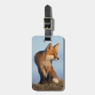red fox, Vulpes vulpes, in the 1002 area of Luggage Tag