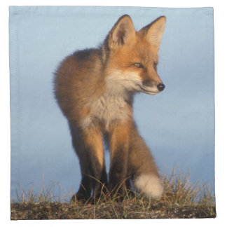 red fox, Vulpes vulpes, in the 1002 area of Napkin