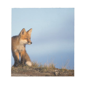 red fox, Vulpes vulpes, in the 1002 area of Notepad