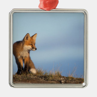 red fox, Vulpes vulpes, in the 1002 area of Silver-Colored Square Decoration