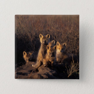 red fox, Vulpes vulpes, kits on their den in the 15 Cm Square Badge