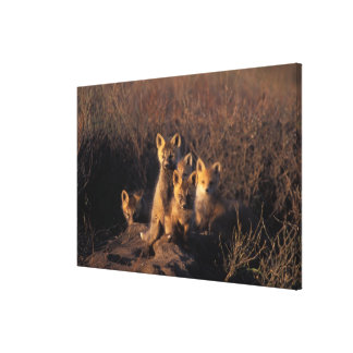 red fox, Vulpes vulpes, kits on their den in the Gallery Wrap Canvas