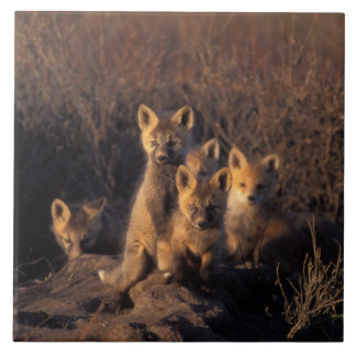 red fox, Vulpes vulpes, kits on their den in the Large Square Tile