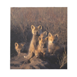 red fox, Vulpes vulpes, kits on their den in the Notepad