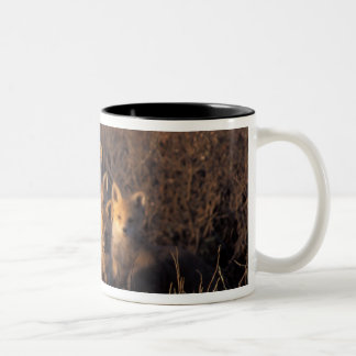 red fox, Vulpes vulpes, kits on their den in the Two-Tone Coffee Mug