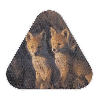 red fox, Vulpes vulpes, kits outside their