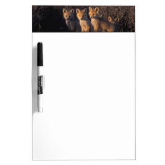 red fox, Vulpes vulpes, kits outside their Dry-Erase Boards