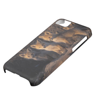 red fox, Vulpes vulpes, kits outside their iPhone 5C Case