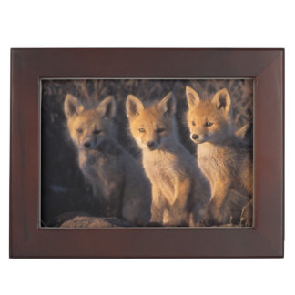 red fox, Vulpes vulpes, kits outside their Keepsake Box