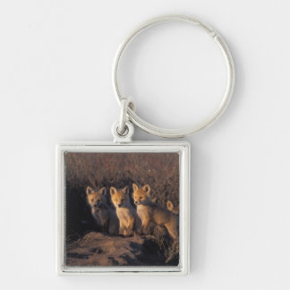 red fox, Vulpes vulpes, kits outside their Silver-Colored Square Key Ring