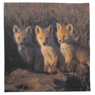 red fox, Vulpes vulpes, kits outside their Napkin