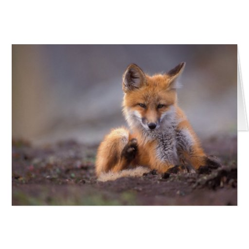 red fox, Vulpes vulpes, pup scratching itself, Cards