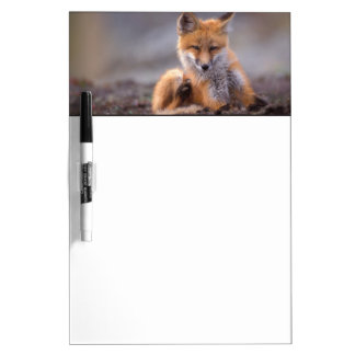 red fox, Vulpes vulpes, pup scratching itself, Dry Erase Board