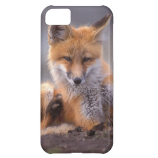 red fox, Vulpes vulpes, pup scratching itself, iPhone 5C Case