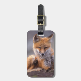 red fox, Vulpes vulpes, pup scratching itself, Luggage Tag