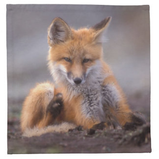red fox, Vulpes vulpes, pup scratching itself, Napkin