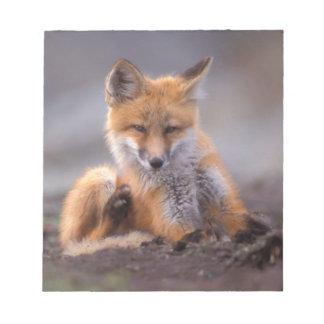 red fox, Vulpes vulpes, pup scratching itself, Notepad