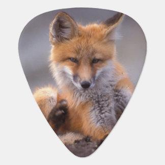 red fox, Vulpes vulpes, pup scratching itself, Plectrum