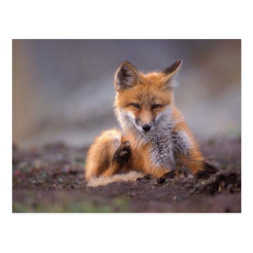 red fox, Vulpes vulpes, pup scratching itself, Postcards