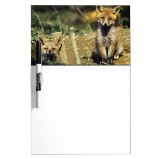 Red Fox, Vulpes vulpes , young at den, Dry Erase Board