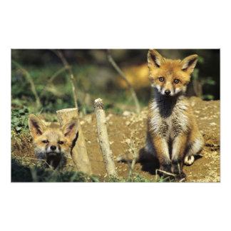Red Fox, Vulpes vulpes , young at den, Photograph