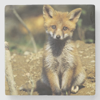 Red Fox, Vulpes vulpes , young at den, Stone Coaster