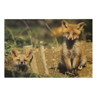 Red Fox, Vulpes vulpes , young at den, Wood Print