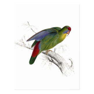 Red-Fronted Parrakeet Postcard