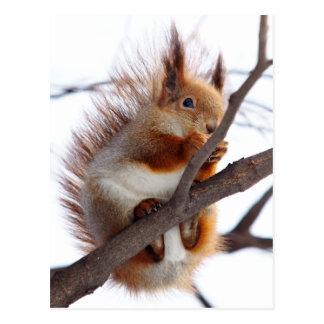 Red Furry Squirrel with a Hazelnut Postcard
