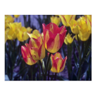 Red Georgette Tulip, (Tulipa Multoflora) flowers Postcard