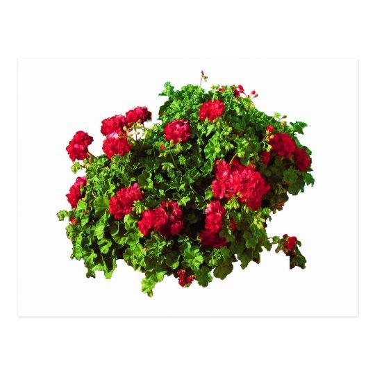 Red Geraniums Postcard