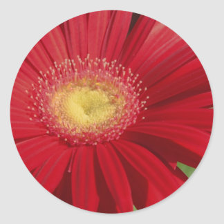 Red Gerber daisy flower background Round Sticker