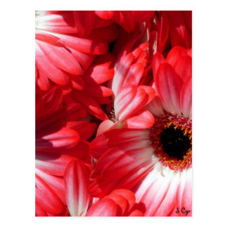 Red Gerberas Postcard